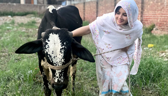 Rabi Pirzada explained the reason for taking a cow for sacrifice