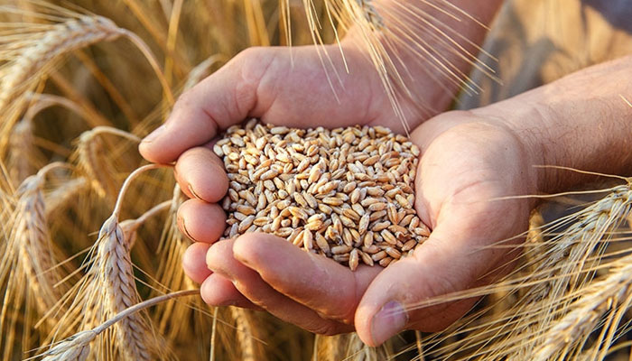 اگلے ماہ یوکرین سے 8 لاکھ ٹن گندم خریداری میں رکاوٹ