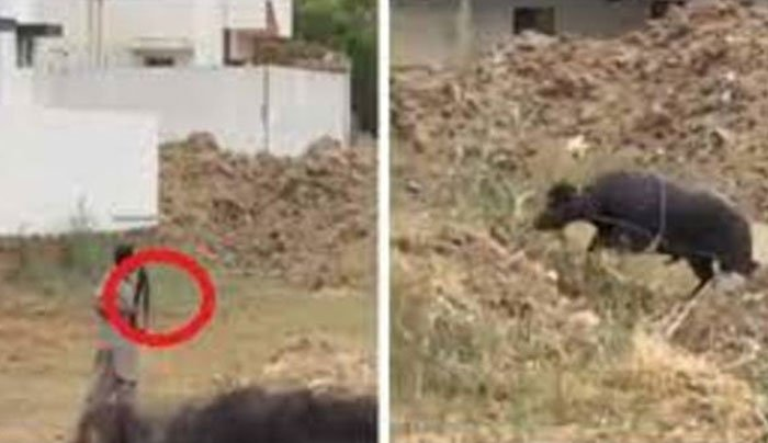 قربانی کے جانور کو فائرنگ کرکے ہلاک کرنے والے ملزمان کی ضمانت