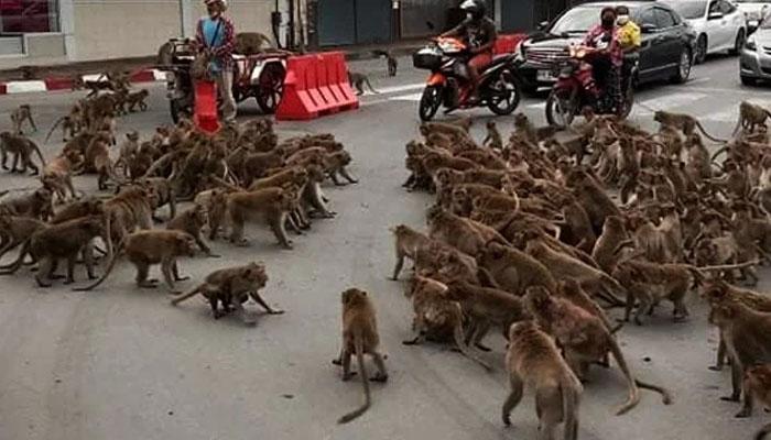 تھائی لینڈ میں  بندروں کی گینگ وار