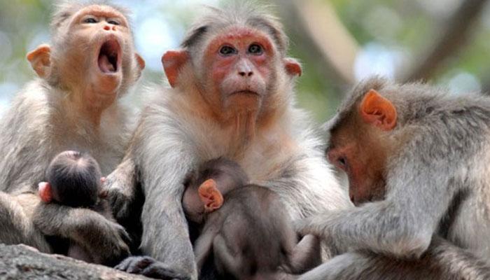 بھارت: ایک بوری سے 46 بندروں کی لاشیں برآمد