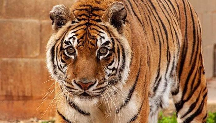 'بنگالی' دنیا کا سب سے طویل العمر شیر قرار