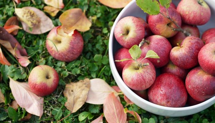 سیب اور اس کا مربع صحت کیلئے مفید ترین قرار