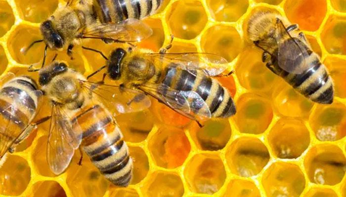 امریکا: شہد کی مکھیوں کا مقامی شہریوں پر حملہ، ایک شخص ہلاک