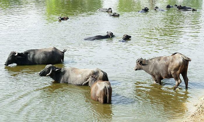 قصور میں 70 سے زائد بھینسیں بی آر بی نہر میں ڈوب گئیں
