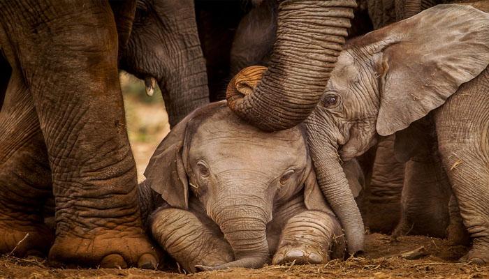 ہاتھی کے زخمی بچے کو اپنی بچھڑی ہوئی ماں مل گئی